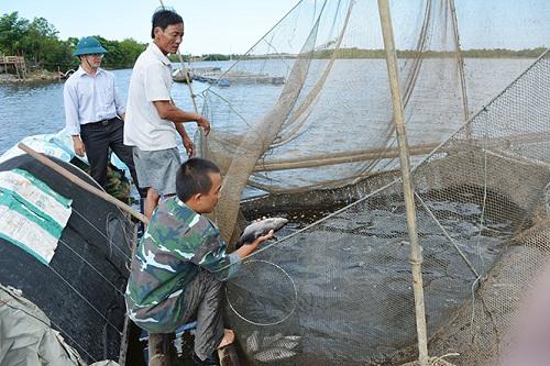 Các hộ nuôi cá chẽm với nỗi lo thu hoạch không tiêu thụ được.